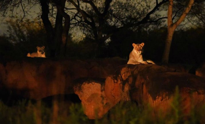 Kilimanjaro_Safaris_After_Dark2