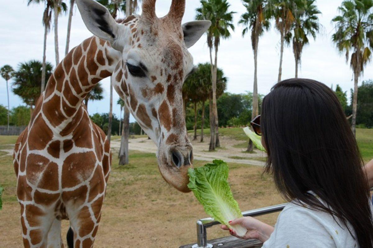 Serengeti Safari — encontro com girafas no Busch Gardens