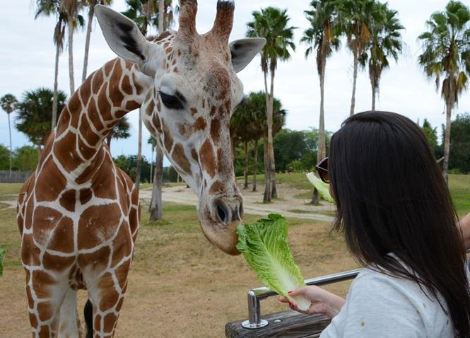 Serengeti Safari Encontro Com Girafas No Busch Gardens Disney De Novo