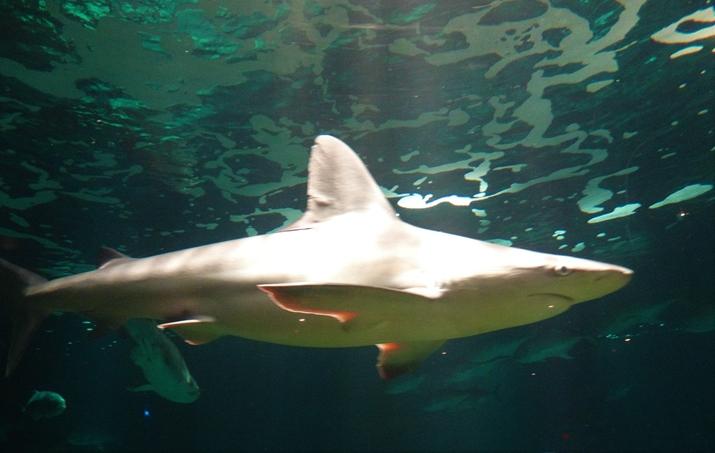 Sharks Underwater Grill tubarão