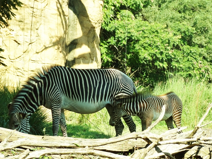Parque Animal Kingdom Safari