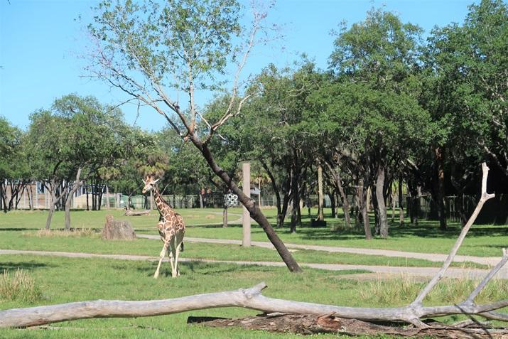 girafa hotel animal kingdom lodge